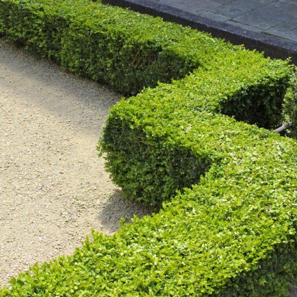 Вечнозелёный самшит