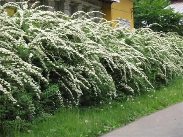 Цветущие кустарники образуют красивый благоухающий забор