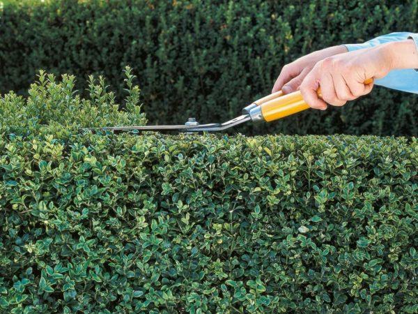 С помощью обрезки кусты постепенно обретут нужную форму и аккуратный внешний вид