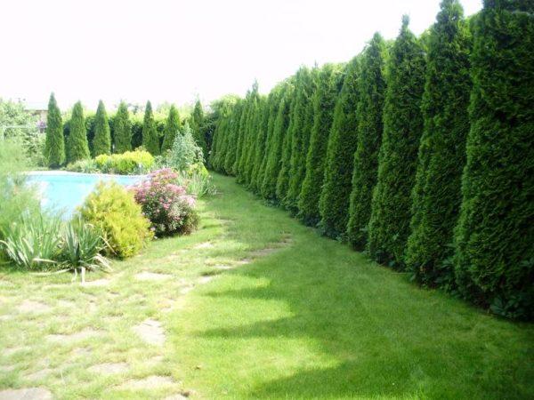 Живая изгородь из вечнозеленых растений
