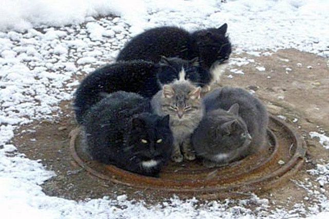 Бездомные кошки и собаки не зря зимой собираются на люках – с канализацией из жилых домов уходит немало тепла.